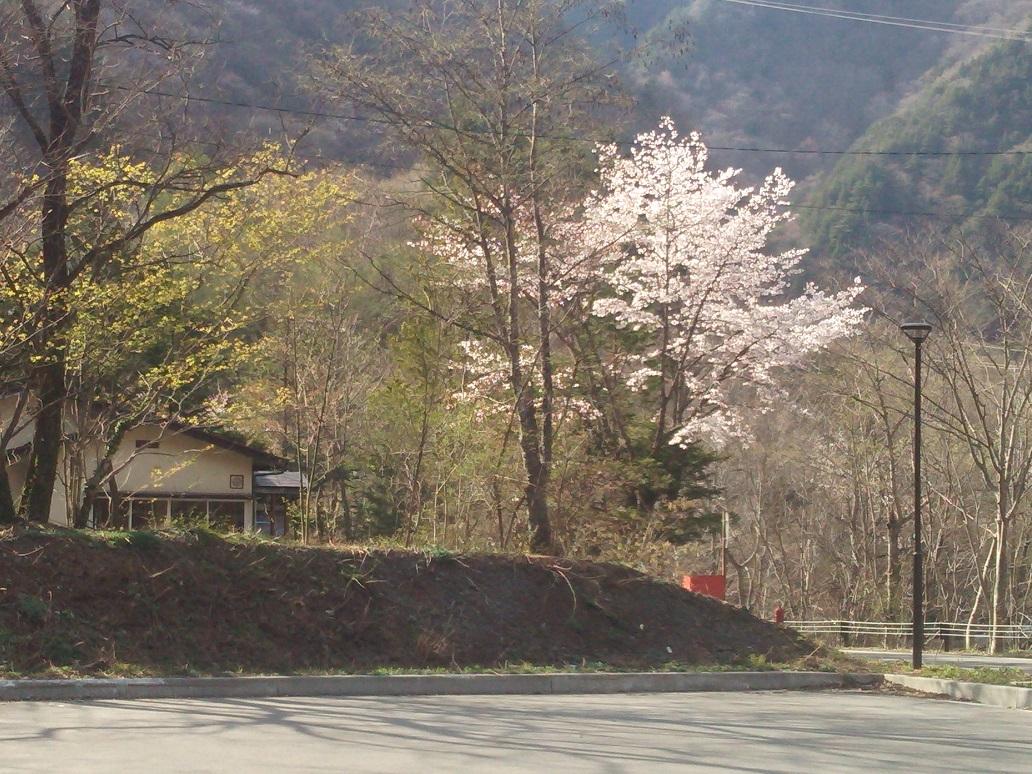 桜白骨2.JPG