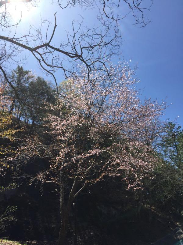 例年より一週間ほど早く桜が満開になりました。桜が葉桜になる頃、芽吹も始まりますが今年は同時に進んでいます。この頃の暖かさも影響してると思いますが、新緑が早まりそうです。