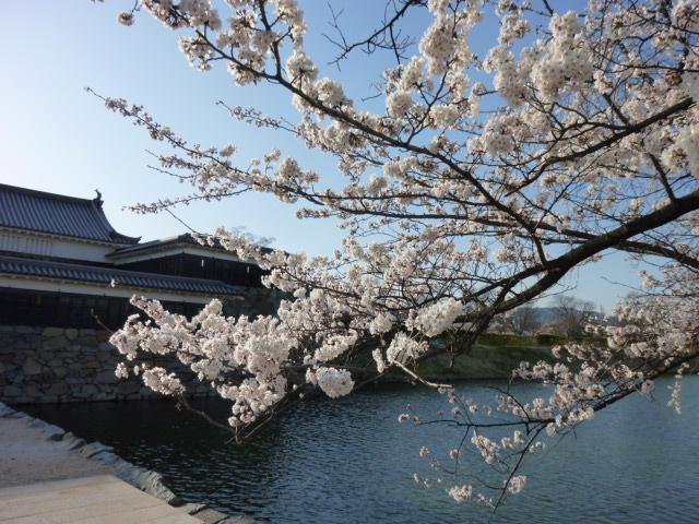 桜は良い(≧∇≦)bですね