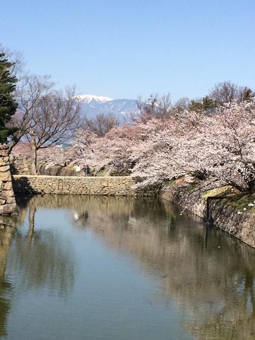 松本城の桜が見頃です★