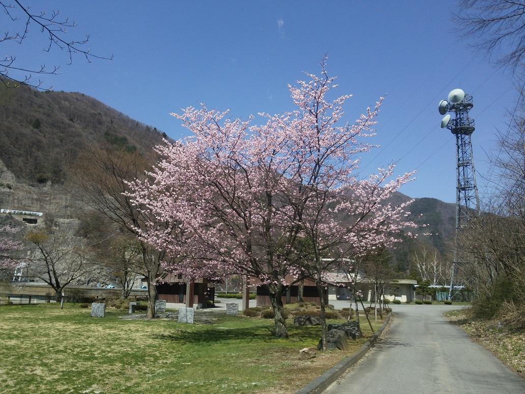 桜 (1).JPG
