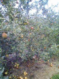 りんごのその後