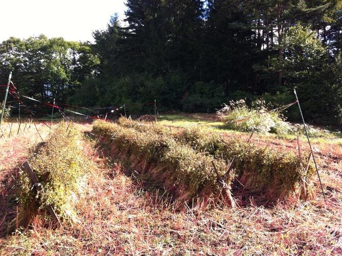 蕎麦の収穫