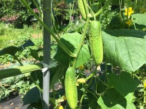 高地で育つ夏野菜