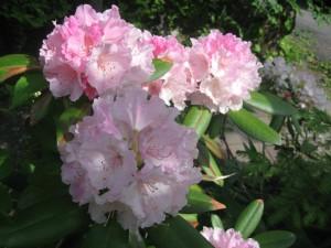 石楠花(しゃくなげ)が咲きました。